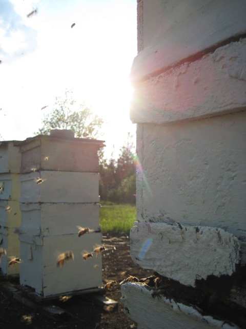 honey bees flighing in and out