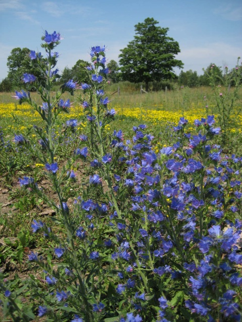 blueweed in flower