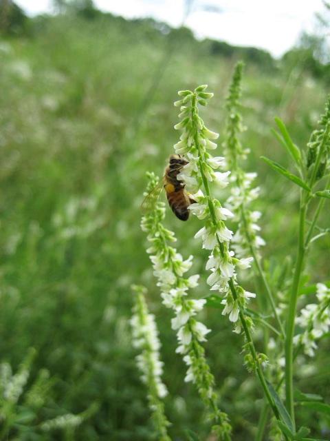 honey bee working clover