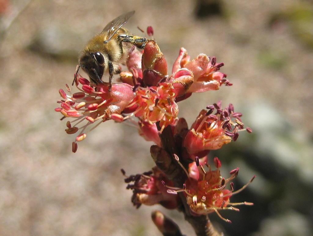 bee in maple flower